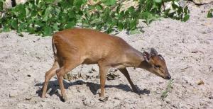 Zoo Landau Natal-Rotducker