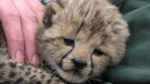 Sudan-Gepard