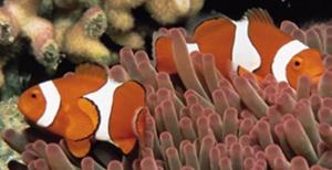 Fisch Clownfisch