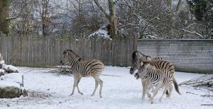 Zoo Heidelberg Zebras