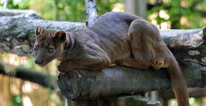 Zoo Heidelberg Fossa