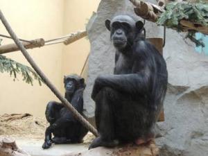Zoo Landau Schimpansen