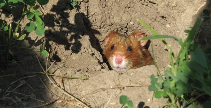 Hamsterauswilderung Bösfeld