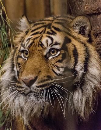 Tiger Tebo