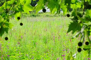 Viernheim Wildpflanzenfeld