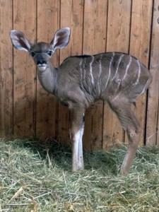 Kudu-Jungtier