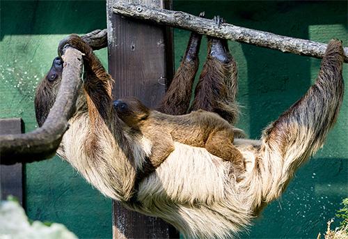 fest am Bauch von Mama. Foto: Peter Bastian/Zoo Heidelberg