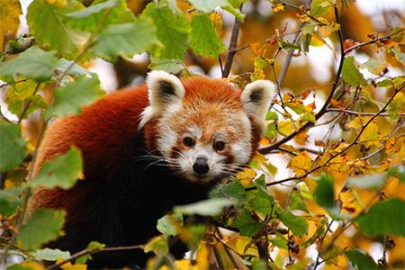 Kleiner Panda im herbstlich bunten Geäst. Foto: Petra Medan/Zoo Heidelberg