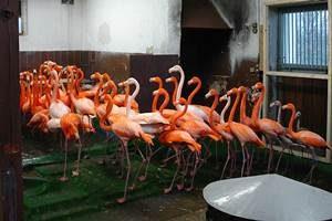 Kuba-Flamingos