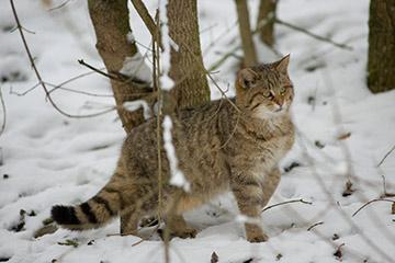 Wildkatze (© BUND Wildkatzensprung/Thomas Stephan)