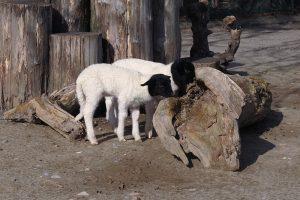 Neugierig erkunden die beiden Lämmer die Anlage Foto: Zoo Heidelberg