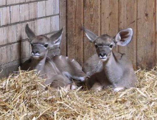Zoo Heidelberg: Große Kudus mit zweifachem Nachwuchs