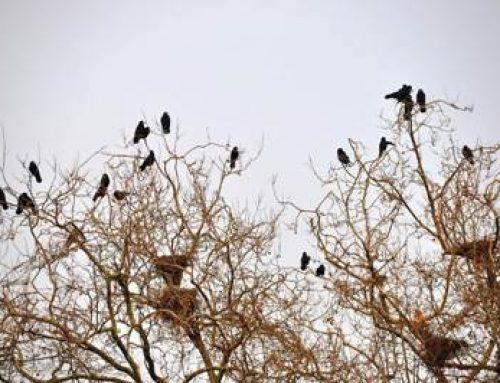 Stadt Landau: Maßnahmenkonzept zur Vergrämung von Saatkrähen
