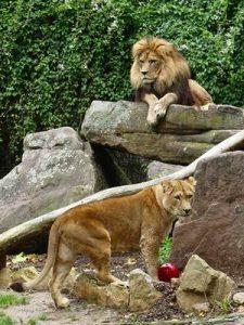 Löwen Zoo Heidelbeg