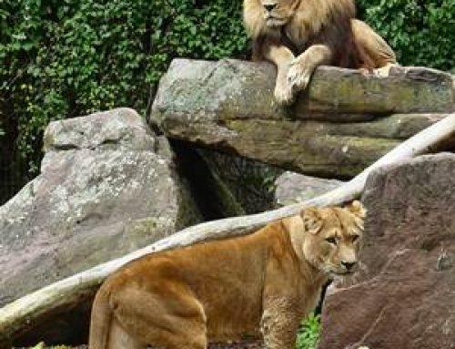Zoo Heidelberg: Baubeginn bei Löwen in Aussicht