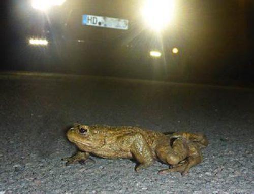 Heidelberg: Amphibienwanderung beginnt