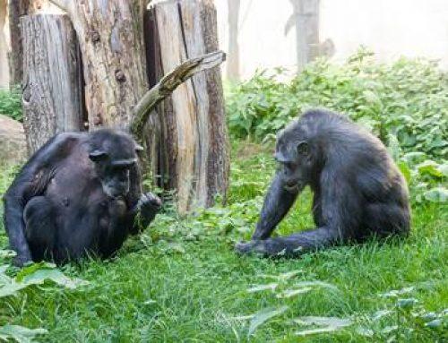 Heidelberg: Welt-Schimpansentag – Infos rund um die bedrohten Menschenaffen im Zoo