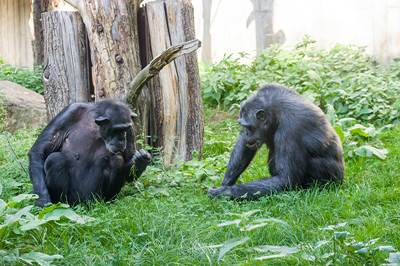 Schimpansen Zoo Heidelberg