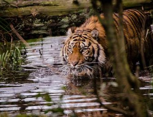 "Thementag ""Tiger"" am 29. Juli im Zoo Heidelberg"