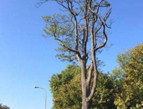 Landau: Götterbaum im Savoyenpark muss gefällt werden