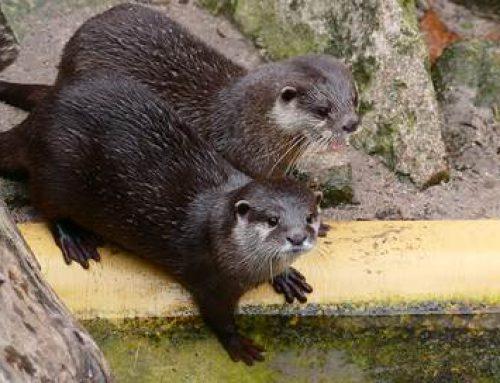 Heidelberg: Verliebte Otter im Zoo