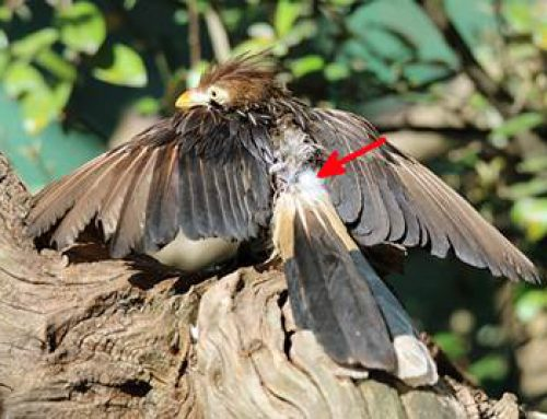Heidelberg: Wildputen im Zoo unterstützen Forschungsprojekt
