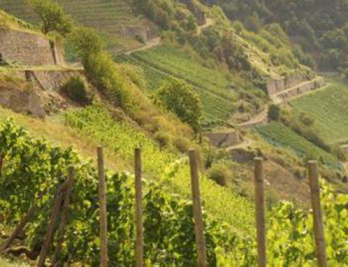 Hessen: Weinbau setzt fortschrittlichen umweltschonenden Anbau um