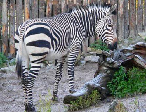 Landau: Öffentliche Zooführung zu den Huftieren