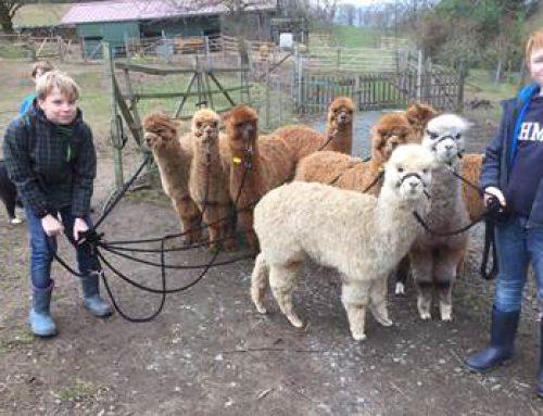 Reichelsheim: Odenwald-Alpakas im Hessen-Fernsehen