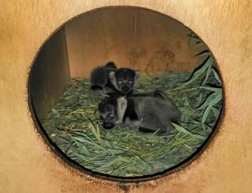 Heidelberg: Freudige Nachricht bei den Gürtelvaris im Zoo