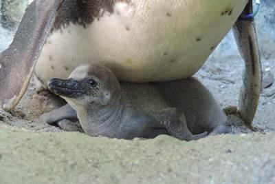 Pinguin-Küken im Nest
