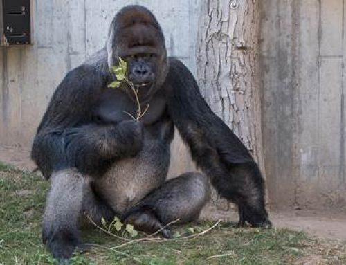 """Heidelberg: Thementag """"Affen"""" am 7. Juli im Zoo"""
