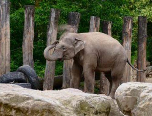 Heidelberg: Welt-Elefantentag im Zoo