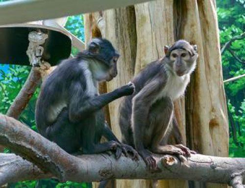 Zoo Heidelberg: Die Mangaben sind da!