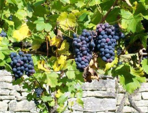 Hessen fördert nachhaltigen, umweltschonenden Weinbau