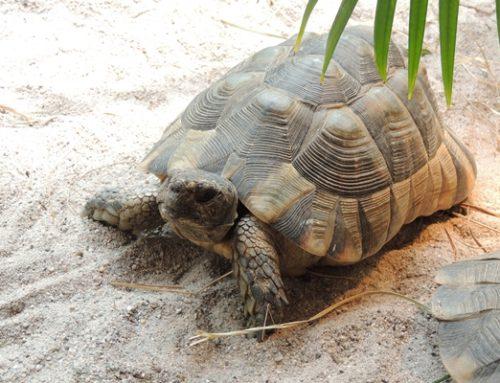 Landau: Erster DGHT-Schildkrötenstammtisch des Jahres am 25. März