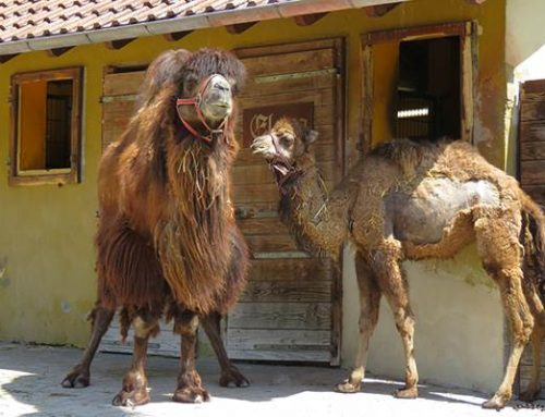 Heidelberg: Trampeltierstute Zula im Zoo eingezogen