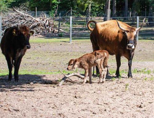 Mannheim: Nachwuchs bei den Auerochsen im Dossenwald