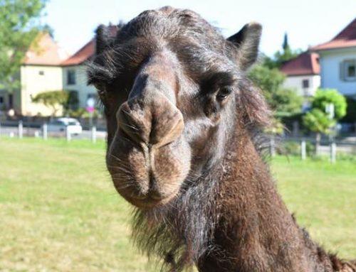 "Zoo Landau begrüßt neuen Dromedarhengst ""Said"""