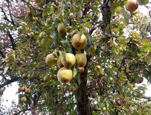 Stadt Bensheim verschenkt Obstbäume