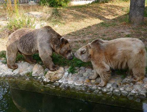 Heidelberg: Syrischer Braunbär im Zoo gestorben