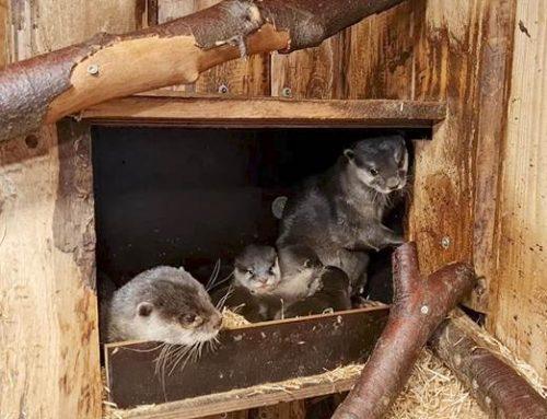 Heidelberg: Nachwuchs bei den Asiatischen Kurzkrallenottern im Zoo