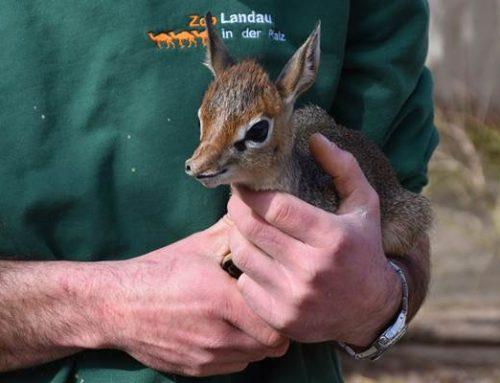 """Zoo Landau: Wieder ein tierischer """"Zwergnase"""" geboren"""