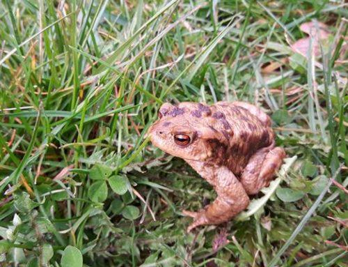 Gullys werden zur Todesfalle für wandernde Amphibien