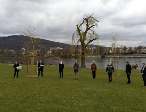 Heidelberg: Drei neue Weiden auf der Neckarwiese gepflanzt