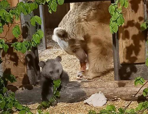 Erste Fotos vom Bären-Nachwuchs im Zoo Heidelberg