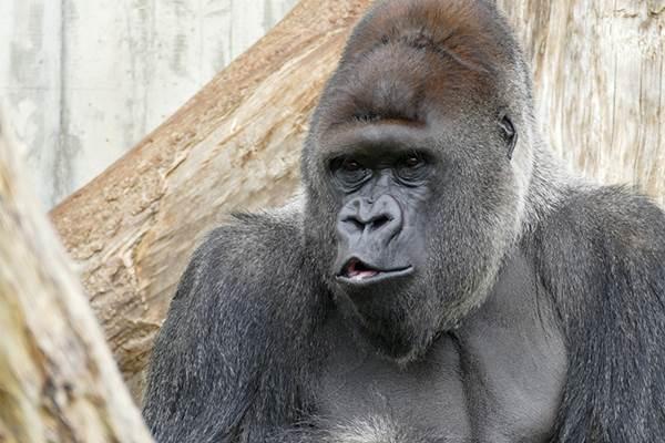 ecoGuide, Gorillas, Menschenaffen, Tiergartenfreunde