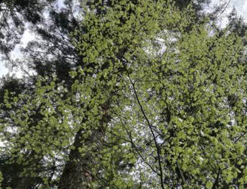 Baumkontrollen, Fällungen und Neupflanzungen in Sinsheim