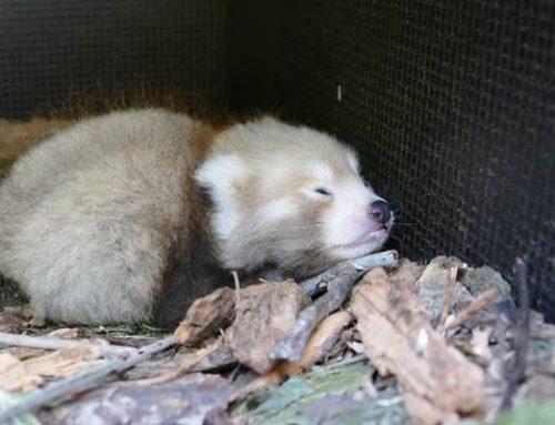 Kleines Panda-Glück im Zoo Heidelberg