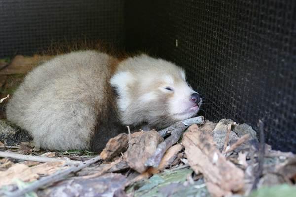 ecoGuide, Zoo Heidelberg, Jungtier, Roter Panda